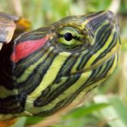 Продам черепаху красноухую, водную