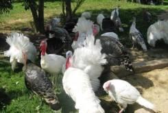 Индюшата цыплята утята