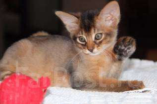 Сомалийская кошка.