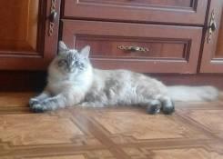 Невская маскарадная кошка. Под заказ