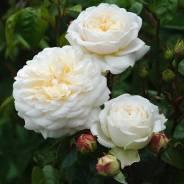 Роза. Под заказ