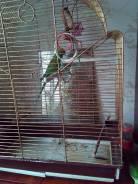 Попугаи Ожереловые.