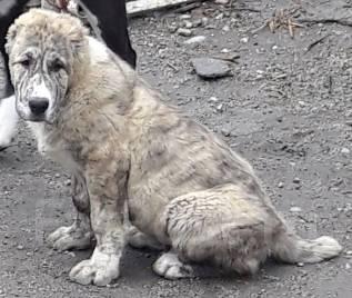 Среднеазиатская овчарка. Под заказ