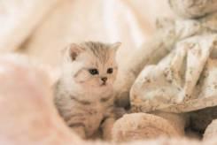 Шотландская кошка. Под заказ