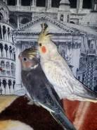Попугаи Кореллы.