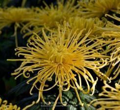 Хризантема. Под заказ