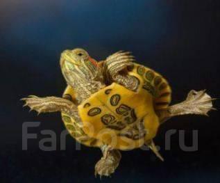 Черепахи Красноухие. Продам