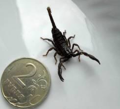 Скорпионы.