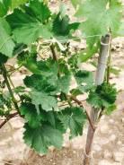 Продам земельный учамток с виноградниками. 60 000 кв.м., собственность, электричество, вода, от агентства недвижимости (посредник)