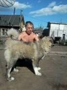 Кавказская овчарка. Под заказ