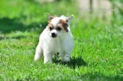Китайская хохлатая собака. Под заказ