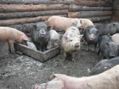 Свиньи. Под заказ