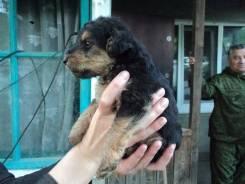 Продается щенок ягттерьера