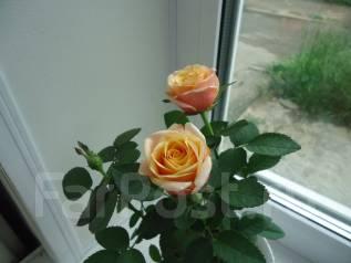 Роза.
