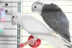 Попугаи Кореллы. Под заказ