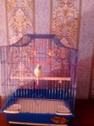 Цихлида-попугай.