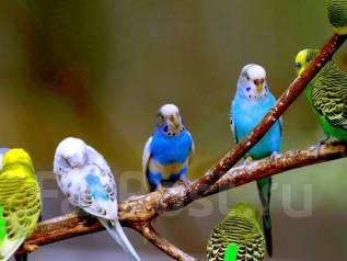 Попугаи Волнистые.
