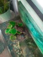 Красноухая черепаха.