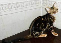 Бенгальская кошка.