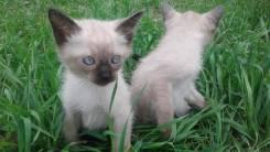 Сиамская кошка. Под заказ
