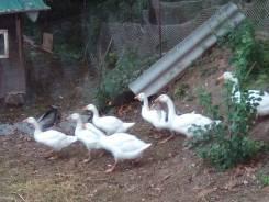 Куры, гуси, цыплята, гусята