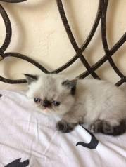 Экзотическая короткошерстная кошка.
