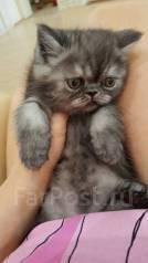 Экзотическая короткошерстная кошка. Под заказ