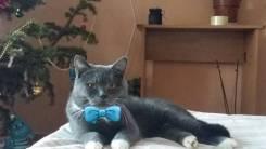 Шотландская прямоухая кошка. Под заказ