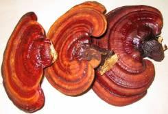 Куплю линчжи (гриб рейши)