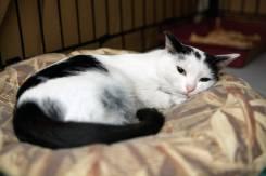 Нежная кошка Коровка мечтает стать верным другом своему человеку