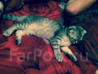 Продам кошку британская-вислоухая