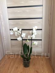 Орхидея.