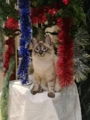 ищу жениха невской маскарадной кошки