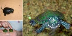 Черепаха красноухая. Под заказ