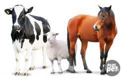 Скупаю Коней, Быков, Телок, Овец, Коз, Баранов, на мясо по всему Прим-краю.