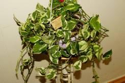 Сциндапсус (=эпипремнум) 'N-Joy' - Взрослое Растение