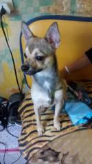 Собака, щенок кобель 10 месяцев