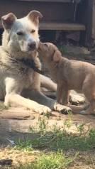Собака для охраны