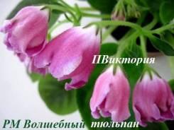 Фиалка Волшебный тюльпан - стартер цветущий