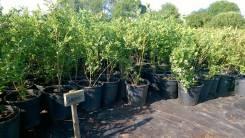 Саженцы голубики садовой оптом с доставкой по РФ