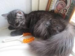Шотландская прямоухая длинношерстная кошка. Под заказ