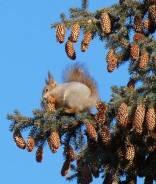 Срочно требуются кедролазы сборщики кедрового ореха