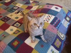 Шотландская прямоухая короткошерстная кошка.