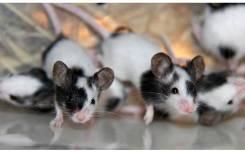 Японских мышек примем оптом!