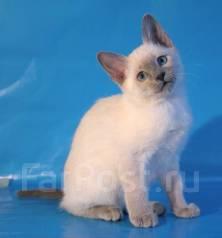 Тайская кошка. Под заказ