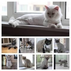 Стрижка кошек за 30 минут , БЕЗ Наркоза, Выезд на дом.