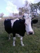 Коровы.