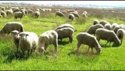 Бараны, овцы. Под заказ
