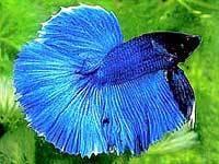 Бойцовая рыбка вуалехвостая.