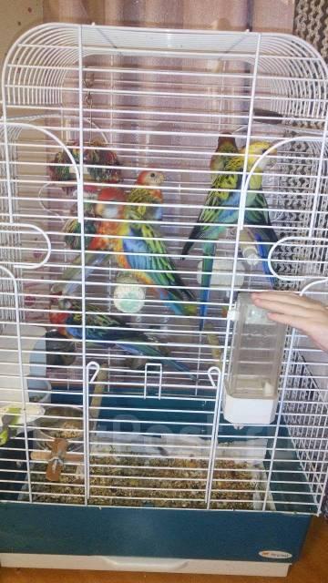 Попугаи Розеллы.